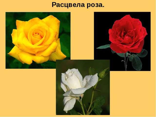 Расцвела роза.