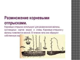 Размножение корневыми отпрысками. Корневые отпрыски используют для размножени