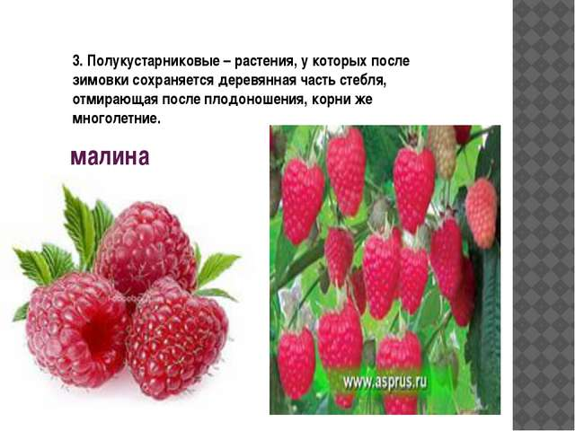 малина 3. Полукустарниковые – растения, у которых после зимовки сохраняется д...