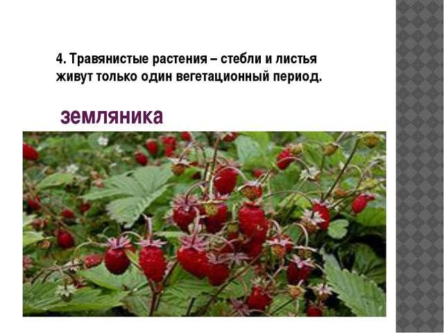 земляника 4. Травянистые растения – стебли и листья живут только один вегетац...