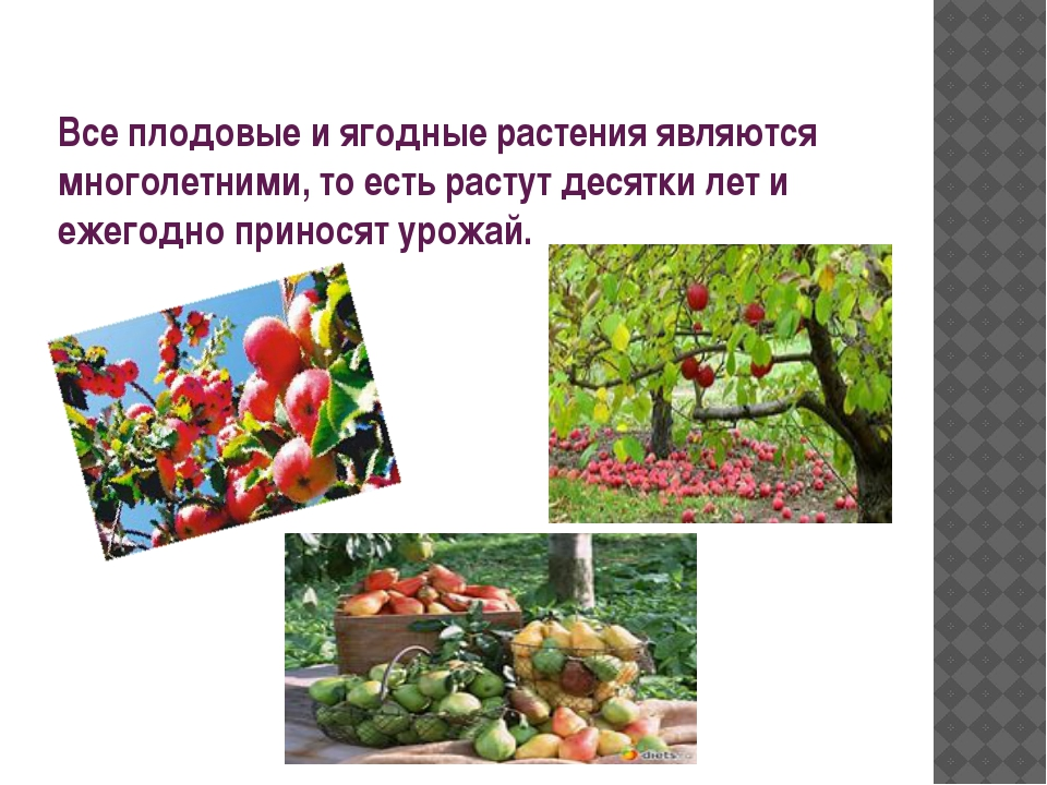 Все плодовые и ягодные растения являются многолетними, то есть растут десятки...