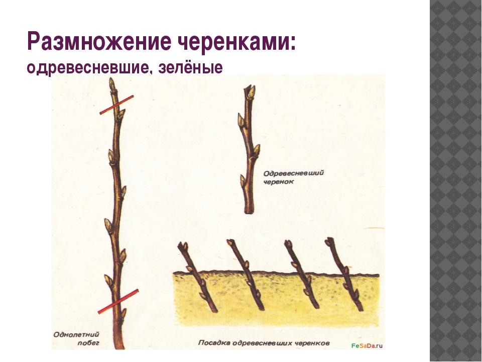 Размножение черенками: одревесневшие, зелёные