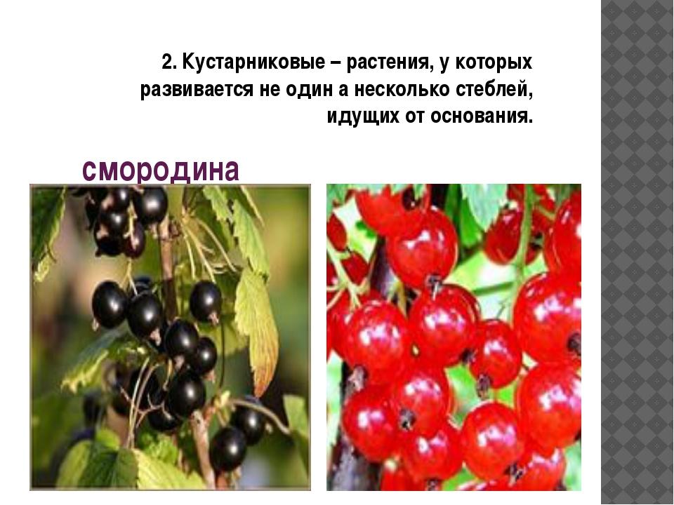 смородина 2. Кустарниковые – растения, у которых развивается не один а нескол...