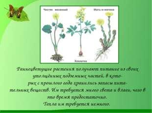 . Раннецветущие растения получают питание из своих утолщённых подземных ча