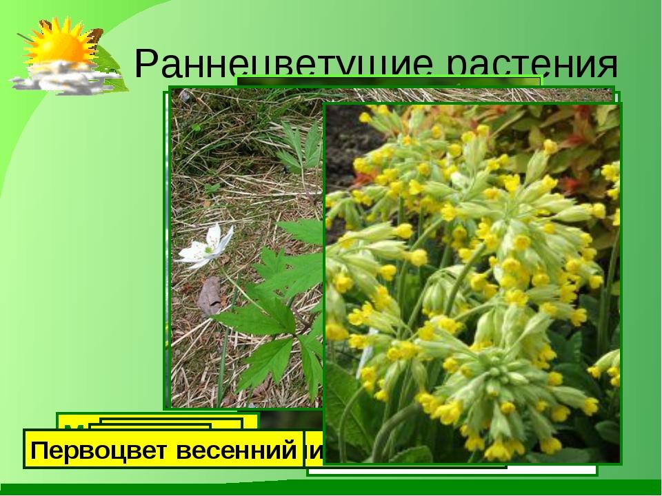 Раннецветущие растения Мать-и-мачеха Подснежник Медуница Ландыш Ветреница ду...