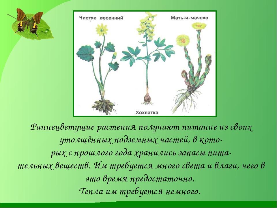 . Раннецветущие растения получают питание из своих утолщённых подземных ча...