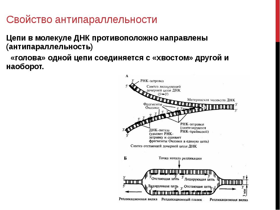 Антипараллельность при синтезе белка