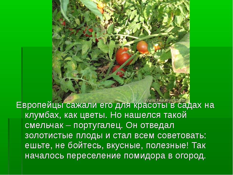 Европейцы сажали его для красоты в садах на клумбах, как цветы. Но нашелся та...