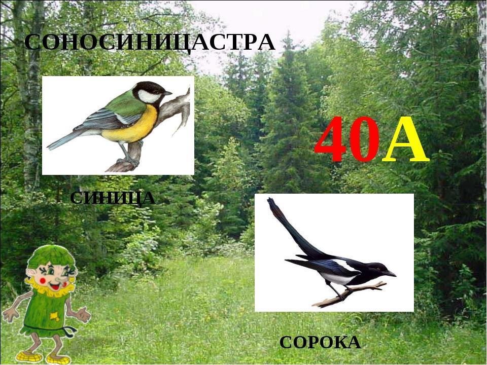 СОНОСИНИЦАСТРА СИНИЦА 40А СОРОКА