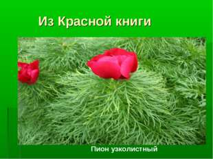 Из Красной книги Пион узколистный