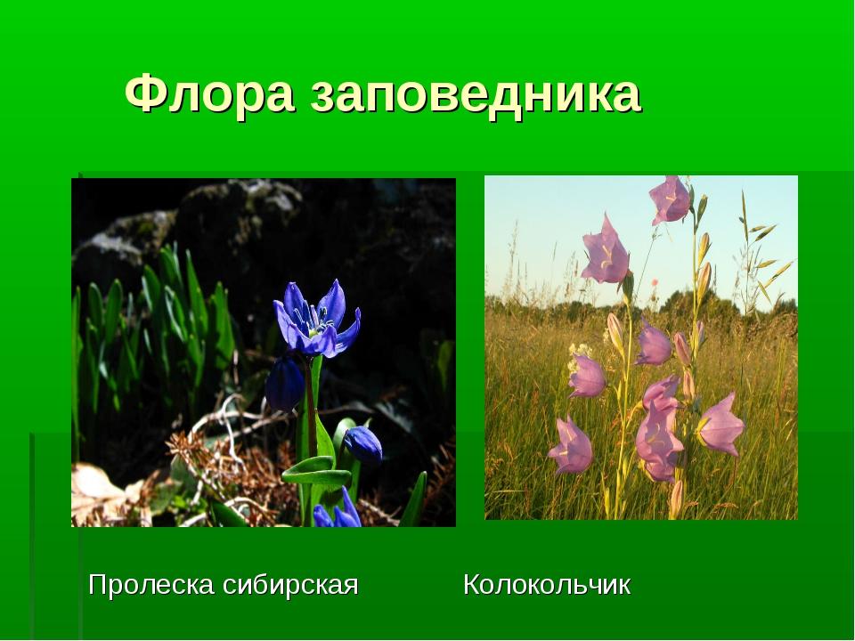 Флора заповедника Пролеска сибирская Колокольчик