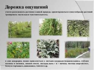 Дорожка ощущений учатся распознавать растения в живой природе, ориентироватьс
