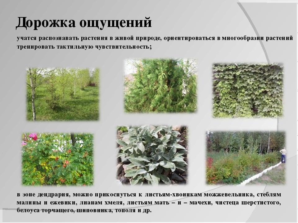 Дорожка ощущений учатся распознавать растения в живой природе, ориентироватьс...