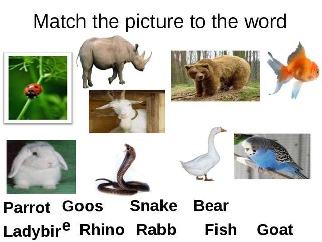 Match the picture to the word Goat Bear Fish Goose Rabbit Rhino Parrot Snake...