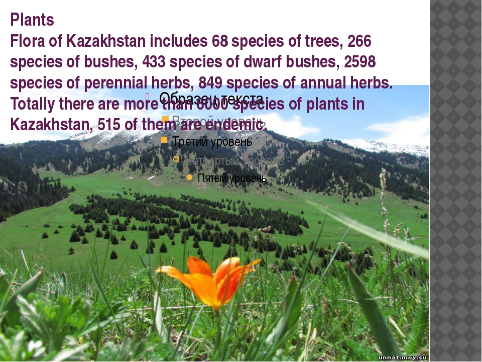Plants Flora of Kazakhstan includes 68 species of trees, 266 species of bushe...
