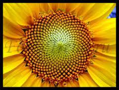 Картинки по запросу последовательность фибоначчи в природе