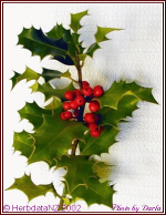 Picture of Christmas Holly with leaves and berries
