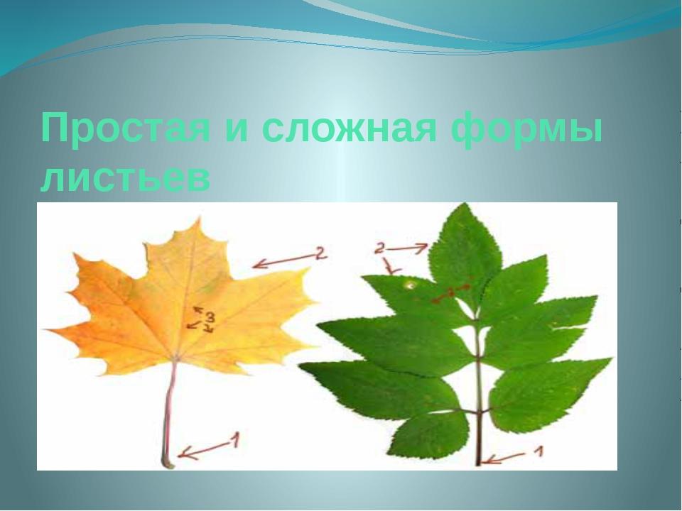 Простая и сложная формы листьев