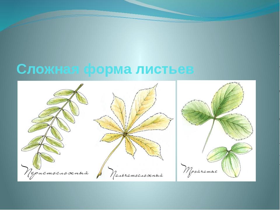 Сложная форма листьев