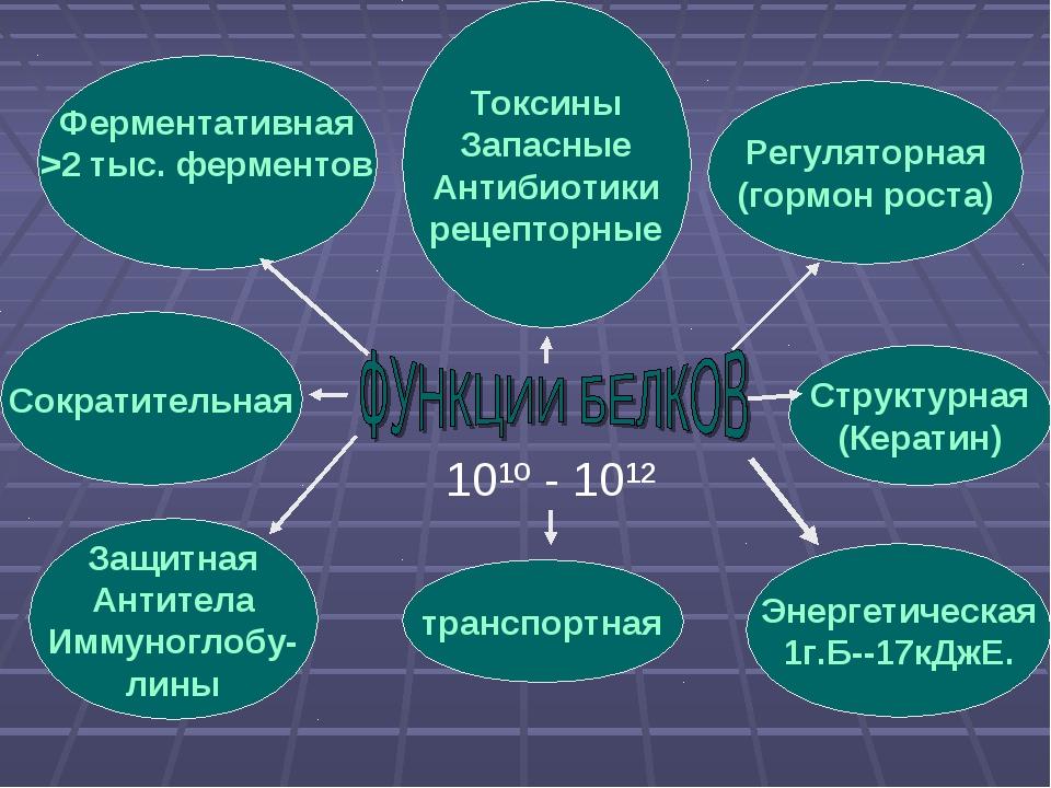 Ферментативная >2 тыс. ферментов транспортная Регуляторная (гормон роста) Сок...
