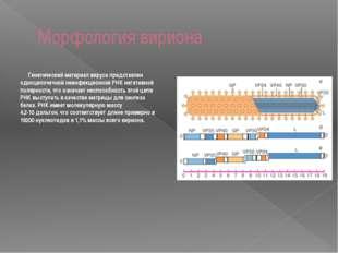 Морфология вириона  Генетический материал вируса представлен одноцепочечной