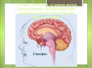 Гипофиз – маленькая, но важная железа в головном мозге, вырабатывает сразу не