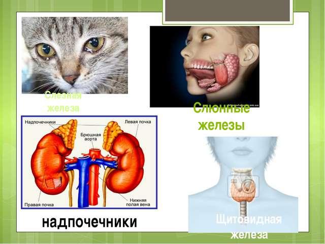 Слезная железа Слюнные железы надпочечники Щитовидная железа