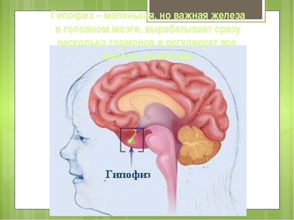 Гипофиз – маленькая, но важная железа в головном мозге, вырабатывает сразу не...