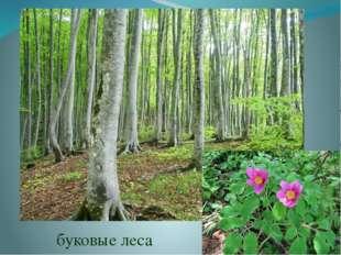 хвойные леса