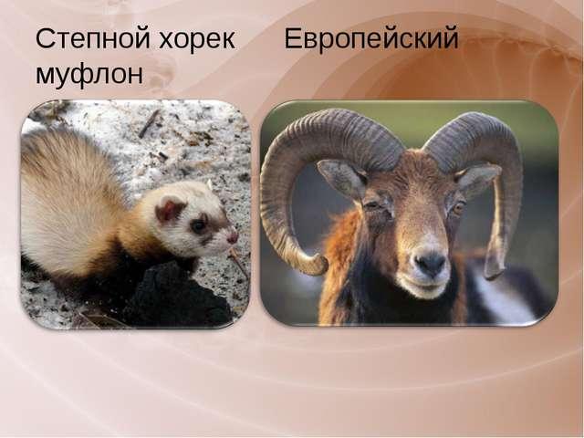 Степной хорек Европейский муфлон