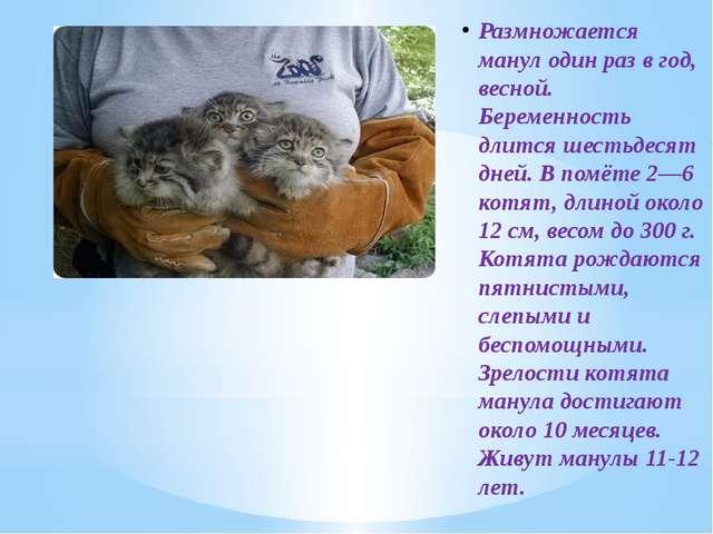 Размножается манул один раз в год, весной. Беременность длится шестьдесят дне...