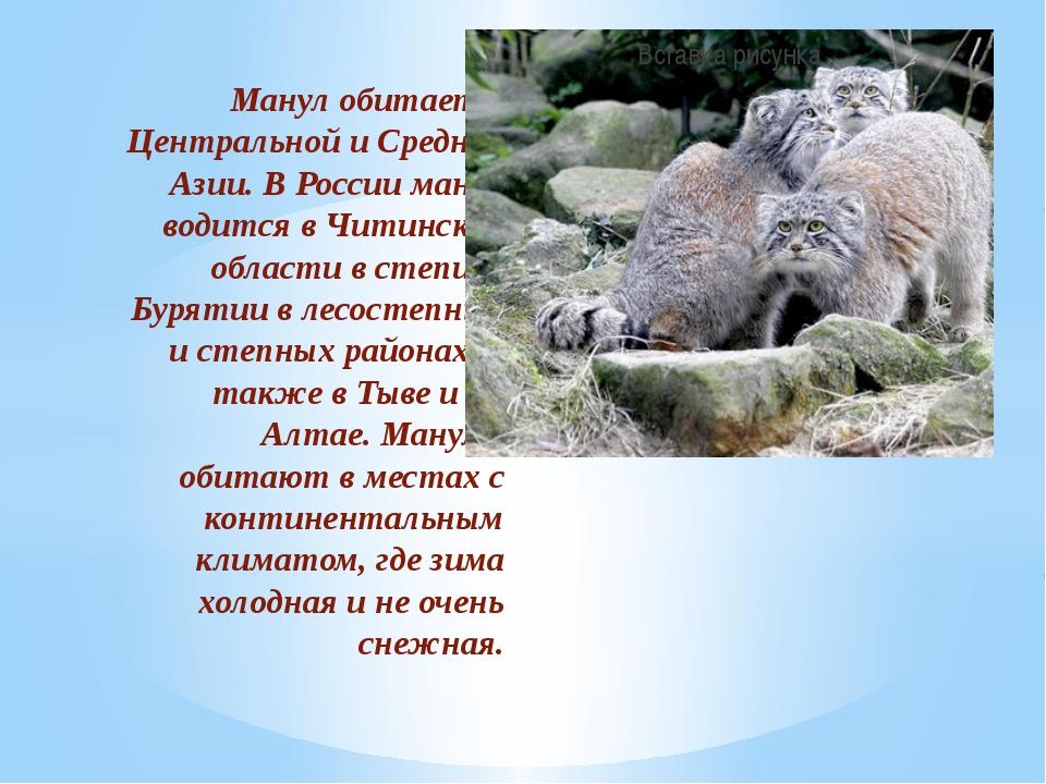 Манул обитает в Центральной и Средней Азии. В России манул водится в Читинско...