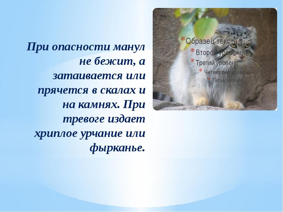 При опасности манул не бежит, а затаивается или прячется в скалах и на камнях...