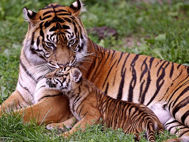 Скачать обои тигрёнок, тигры, Тигрица, малыш, мама - картинк…