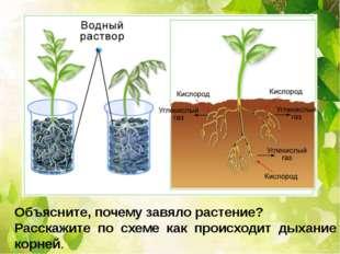 Объясните, почему завяло растение? Расскажите по схеме как происходит дыхани