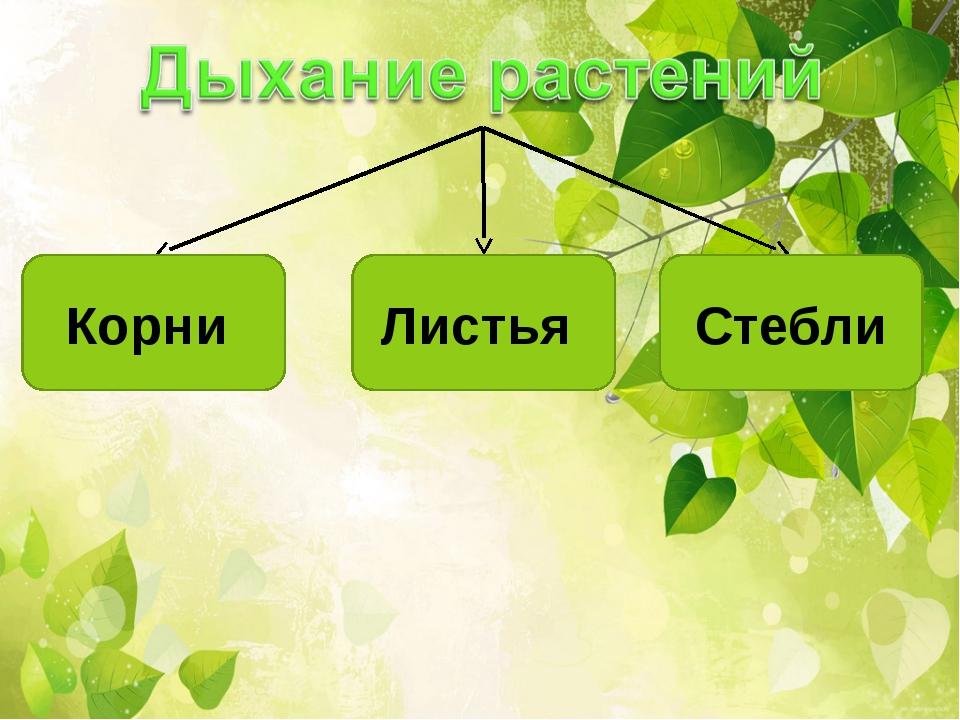 Корни Листья Стебли