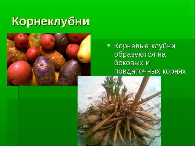 Корневые клубни образуются на боковых и придаточных корнях Корневые клубни о...
