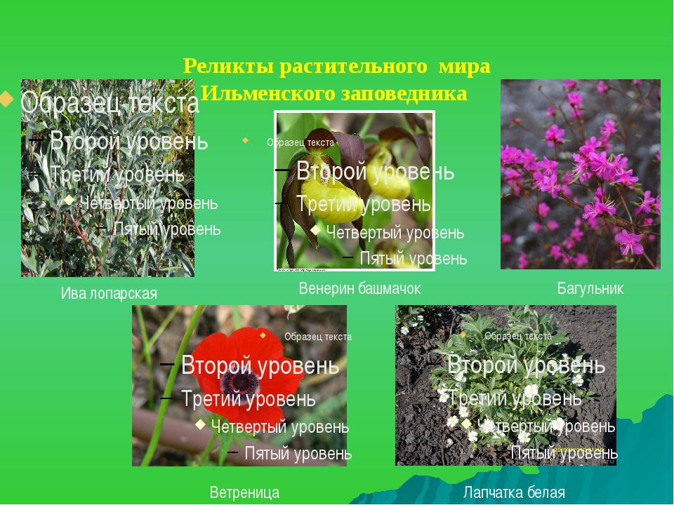 Реликты растительного мира Ильменского заповедника Ива лопарская Венерин баш...