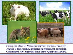 Таким же образом Человек приручил корову, овцу, козу, свинью и даже зайца, ко