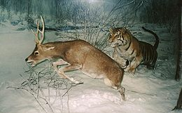 260px-Tiger_chasing_a_deer