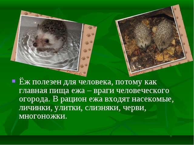Ёж полезен для человека, потому как главная пища ежа – враги человеческого ог...