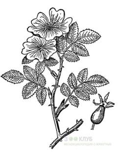Коричный шиповник, коричная роза (Rosa majalis), черный рисунок картинка