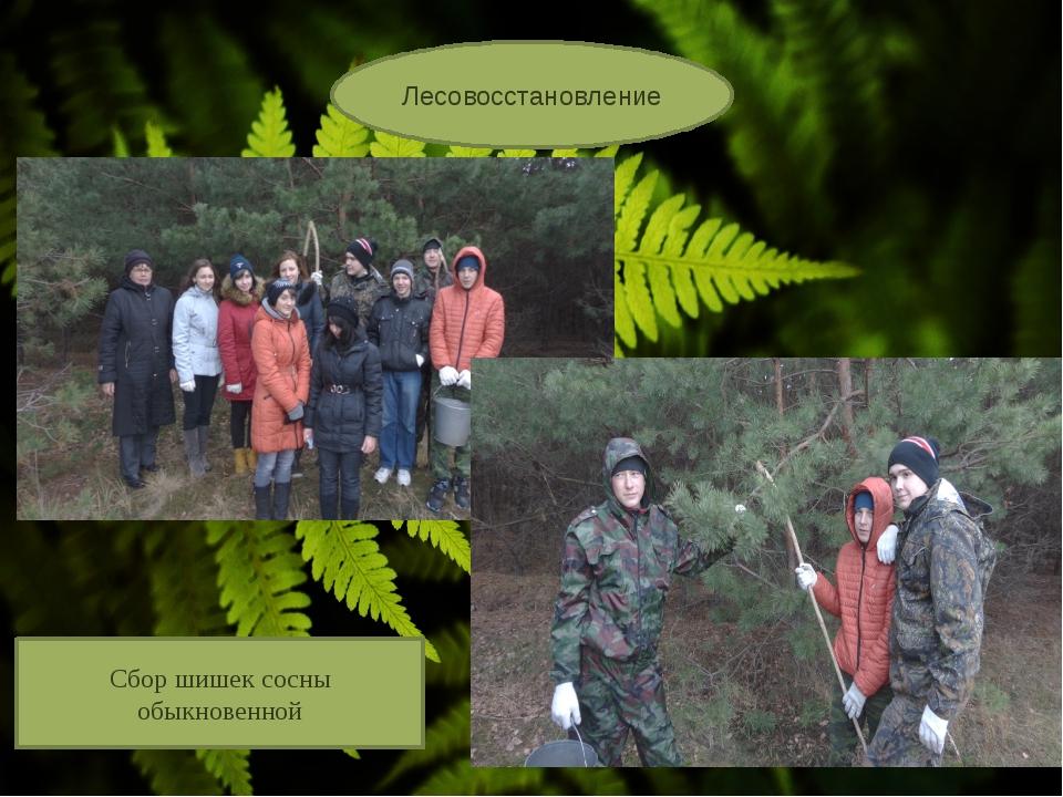 Лесовосстановление Сбор шишек сосны обыкновенной