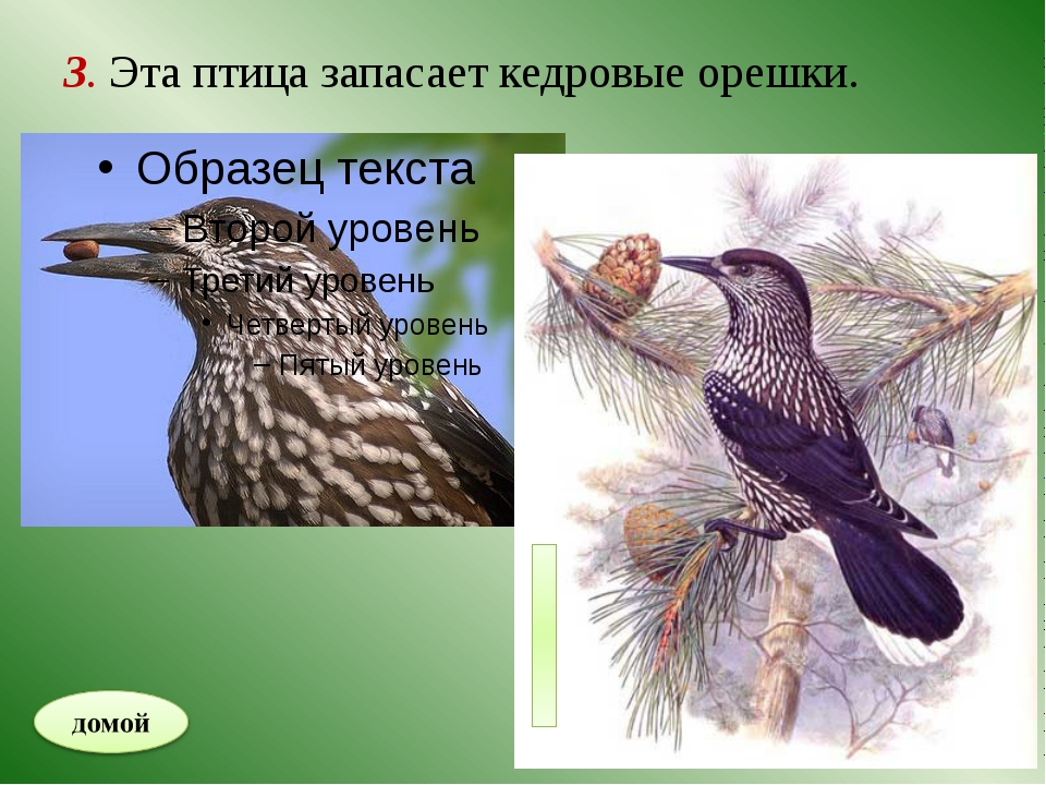 4. Теневыносливое растение тайги.