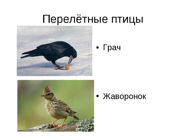 Перелётные птицы Жаворонок Грач