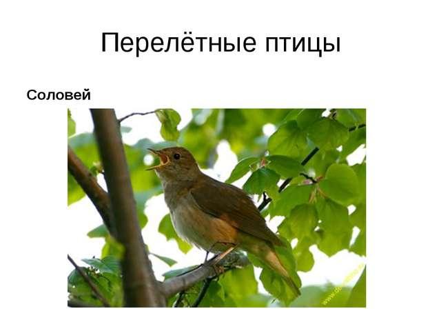 Перелётные птицы Соловей