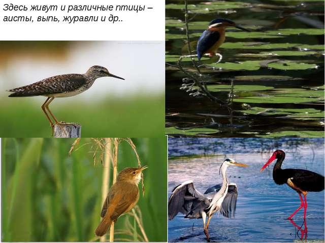 Здесь живут и различные птицы – аисты, выпь, журавли и др..
