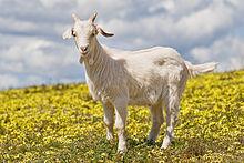 http://upload.wikimedia.org/wikipedia/commons/thumb/f/ff/Domestic_goat_kid_in_capeweed.jpg/220px-Domestic_goat_kid_in_capeweed.jpg