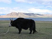 http://upload.wikimedia.org/wikipedia/commons/thumb/e/e4/Mongolischer_Yak.JPG/220px-Mongolischer_Yak.JPG