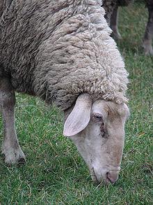 http://upload.wikimedia.org/wikipedia/commons/thumb/1/1c/German_ewe_grazing_closeup.jpg/220px-German_ewe_grazing_closeup.jpg